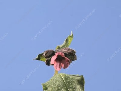 Pulmonaria officinalis, timelapse