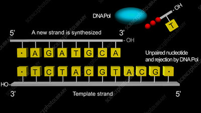Proofreading by DNA polymerase, animation