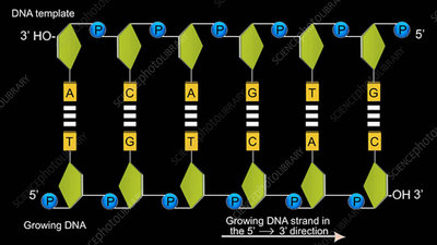 DNA synthesis, animation