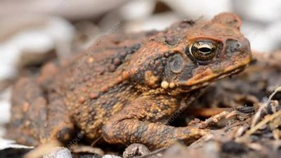 Cane toad, close-up