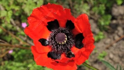 Bumblebee on a poppy