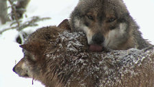 Grey wolves licking each other