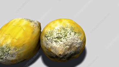 Zoom into mould on a lemon