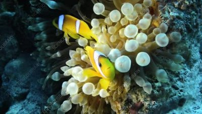 Clown fish and bubble anemone