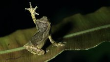 Short-headed treefrog waving hand