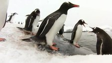 Gentoo penguins on ice