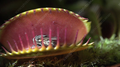 Venus flytrap catching a fly