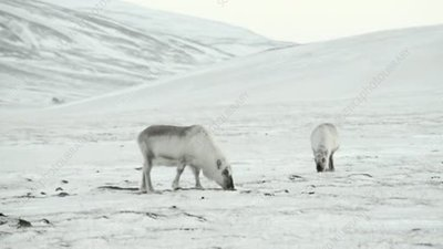 Reindeer grazing in Arctic