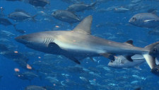 Grey reef sharks and trevallies
