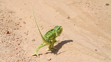 Flap-necked chameleon crossing a road