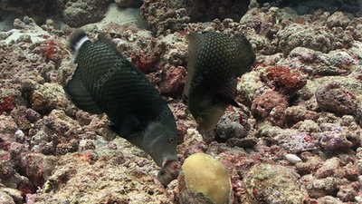 Rockmover wrasse moving rocks