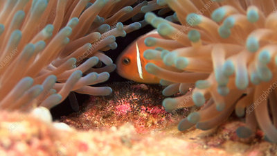 Anemone fish and eggs