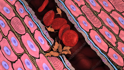 Blood clot formation, animation