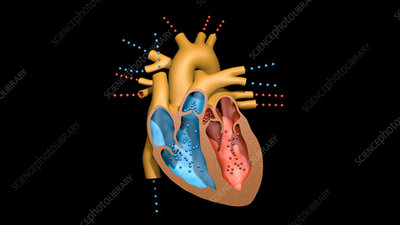 Contraction of heart chambers