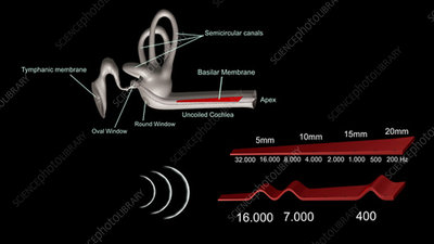 Frequency detection in the human ear