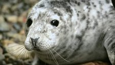 Grey seal shedding a tear