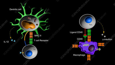 Lymphocyte and macrophage activation