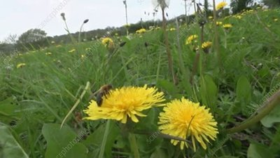 Honeybee feeding on dandelion