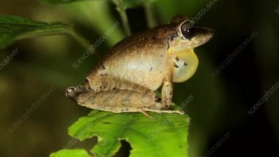 Male rain frog calling at night