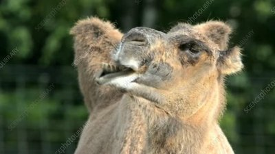Bactrian camel chewing the cud