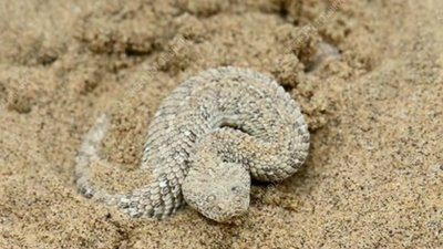 Peringuey's adder buring itself