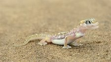 Web-footed gecko licking its eye
