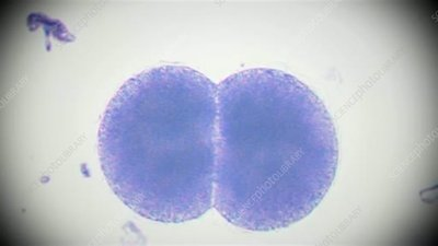 Disrupted embryo cells, light microscopy
