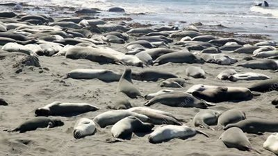 Northern elephant seals on beach
