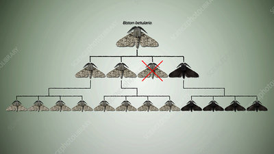 Natural selection in peppered moths