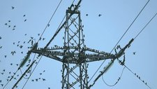 Starlings on pylon