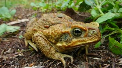 Cane toad sitting on ground