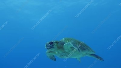Sea turtle with divers