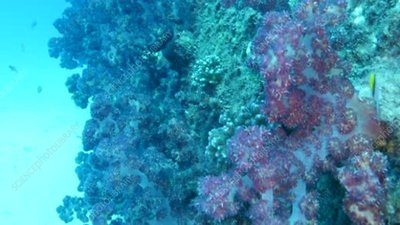 Soft corals, Great Barrier Reef