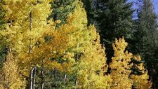 Quaking aspen trees in autumn