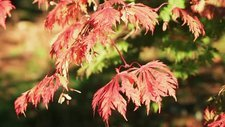 Autumn colour on a maple tree
