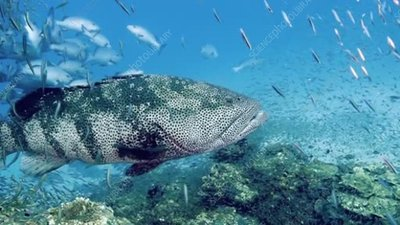 Grouper on a reef