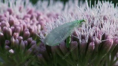 Common green lacewing on plants