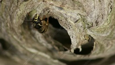 Wasp in nest