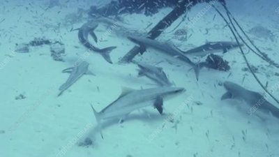 Cobia fish on the seabed