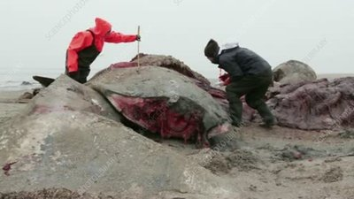 Measuring a beached sperm whale
