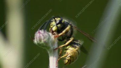 Wasp collecting from plant
