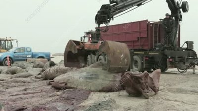 Disposing of beached sperm whale