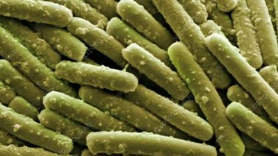 Clostridium difficile bacteria, SEM