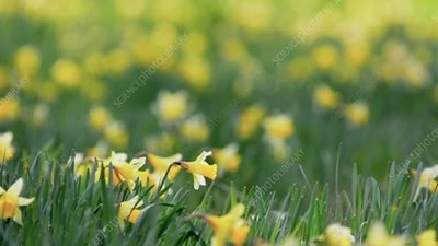 Daffodils in a spring forest