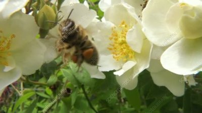 Bee on rose flowers, high-speed
