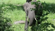 African elephant eating, Malawi