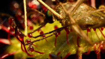 Cape sundew with mosquito, timelapse
