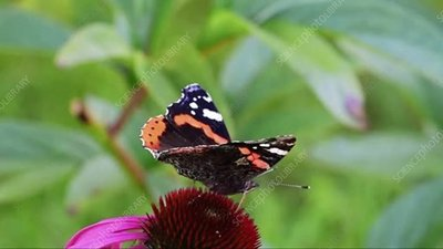Red admiral butterfly feeding on a flower