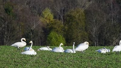 Migrating whooper swans feeding