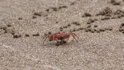 Painted ghost crab on sand